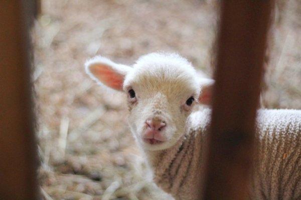 Ez a bárány cuki, de a bárányhimlő nem az!
